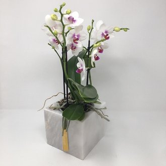 Bouqetto Phalaenopsis Orkide